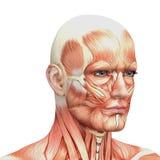 Idrotts- male människaanatomi och muskler Arkivfoto