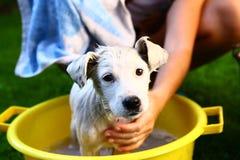 Ids myją białego szczeniaka w basenie Obraz Royalty Free