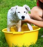 Ids wash white puppy in the basin Stock Photos