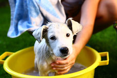 Ids wash white puppy in the basin Royalty Free Stock Image