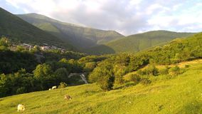 Idyll. Cows graze in the foothills. stock photography