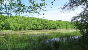Idyll lake in summer with reed and green alder trees