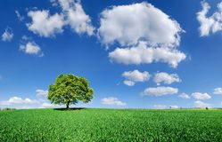 Idyll, lonely tree among green fields. Blue sky and white clouds in the background stock photos