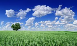 Idyll, panoramic landscape, lonely tree among green fields. Blue sky and white clouds in the background royalty free stock photos