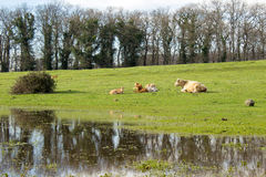 Mother cow and calfs Royalty Free Stock Photography