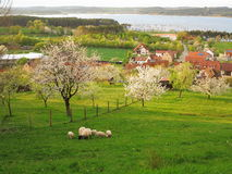 Lakeside village with sheeps grazing at spring Stock Photography