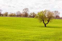 Idyllic field with tree Royalty Free Stock Image