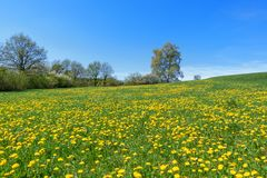 Idyllic flower meadow in spring. Idyllic flower meadow with yellow blooming dandelion in front of row of trees and bushes in spring royalty free stock photos