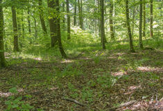 Idyllic forest scenery. Idyllic dense forest scenery at spring time in Southern Germany Royalty Free Stock Photos