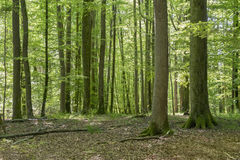 Idyllic forest scenery. Idyllic dense forest scenery at spring time in Southern Germany Royalty Free Stock Images