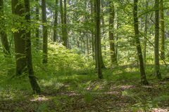 Idyllic forest scenery. Idyllic dense forest scenery at spring time in Southern Germany Stock Photo
