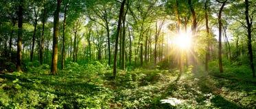 Idyllic forest at sunrise royalty free stock image