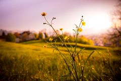Idyllic golden landscape evening scenery: Summer meadow, sundown. Grass and flowers in the foreground, beautiful golden meadow evening scenery in the blurry stock images