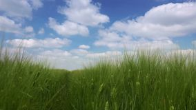 Idyllic green wheat field landscape with clouds stock video footage
