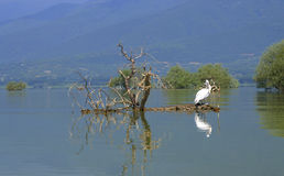 Idyllic lake birds scene,Greece Stock Images
