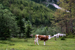 Idyllic landscape in the Alps with cows grazing in fresh green m Royalty Free Stock Photos