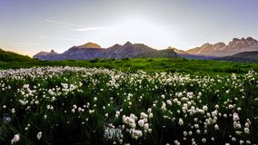 Idyllic landscape in the Alps with fresh green meadows and blooming flowers and snow-capped mountain tops in the background.  royalty free stock photos