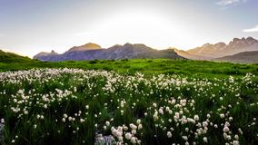Idyllic landscape in the Alps with fresh green meadows and blooming flowers and snow-capped mountain tops in the background.  stock photography