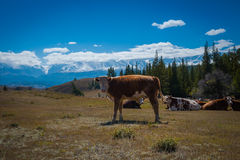 Idyllic landscape with cows grazing in fresh green meadows. Between blooming flowers, typical farmhouses and snowcapped mountain tops, Altai. Kurai Stock Photography