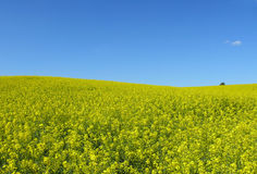 Idyllic landscape. Field of rape & clear sky Stock Images