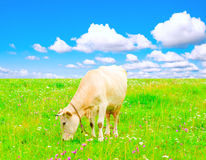 Idyllic landscape with a grazing cow Stock Images