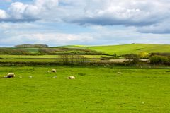 Idyllic landscape with sheep and lambs stock photography