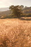 Idyllic Meadow and Oak Tree at sunset Stock Photos