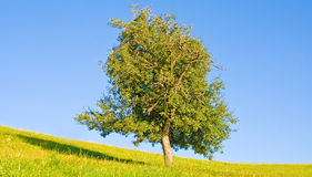 Idyllic meadow with tree Royalty Free Stock Photo
