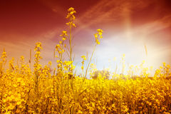 Idyllic Mustard Field Stock Photo