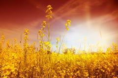 Idyllic Mustard Field Stock Photo