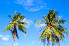Idyllic palm tree on tropical island. Bright blue sky background. Summer vacation banner template. Fluffy palm tree with green leaves. Coconut palm under Stock Images