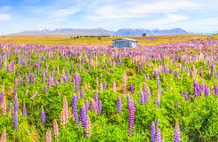 Idyllic Panorama Landscape View of Lupin Field near Lake Tekapo, New Zealand. Beautiful, colorful Lupin flowers blossom in summer royalty free stock images