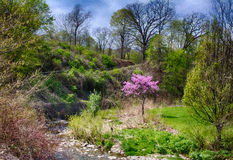 Idyllic Park Scene with a Pink Red Bud Tree On a Large Green Park field. American Red Bud On the bank of a small creek in a local Pittsburgh Park Stock Photo