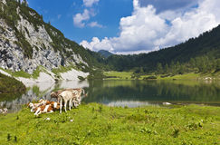Idyllic pasture in the mountains with cows Stock Image