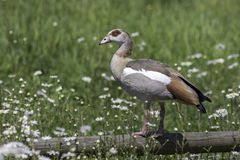 Idyllic rural countryside summer nature scene. Egyptian goose Royalty Free Stock Image
