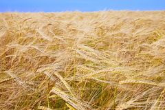 Free Idyllic Rural Landscape With Golden Spikes In Cornfield. Royalty Free Stock Image - 153416646