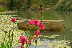 Idyllic scenery with flowering pink iris growing by the lake. Flowering pink iris by the lake with a small boat in the water stock photo