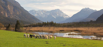 Idyllic scenery with grazing sheeps, bogland and the alps Royalty Free Stock Images