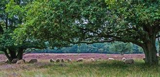 Idyllic scenery of heathland with sheeps Royalty Free Stock Photography