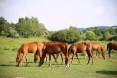 Idyllic scenery with thoroughbred anglo-arab foals and mares Stock Photography