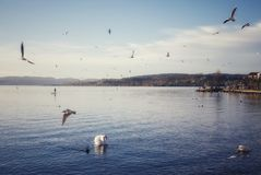 Idyllic scenery with water birds at the lake in Rapperswil Switzerland stock photography