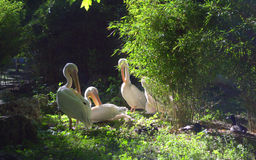 Idyllic Scenery With Pelicans In The Park Royalty Free Stock Photo