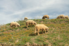 Idyllic sheeps gazing in calen Royalty Free Stock Images
