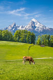 Idyllic summer landscape in the Alps with cows grazing royalty free stock photography