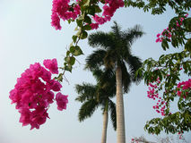Idyllic tropical picture. Branches of beautiful vivid bougainvillea, palm tree, blue sky. Concept paradise pleasure. Concept paradise pleasure. Branches of Stock Image