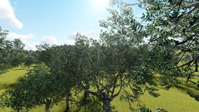 Idyllic Tuscan rural  landscape  with olives trees. Animation stock video footage