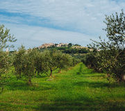 Idyllic Tuscan rural  landscape  with olives trees Royalty Free Stock Photos