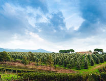 Idyllic Tuscan rural  landscape  with olives trees Royalty Free Stock Image