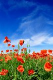 Idyllic view, meadow with red poppies blue sky in the background. Idyllic landscape, field full of beautiful red poppies, blue sky and white clouds in the stock images