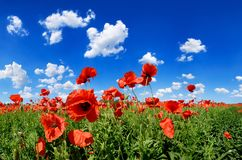 Idyllic view, meadow with red poppies blue sky in the background. Idyllic landscape, field full of beautiful red poppies, blue sky and white clouds in the royalty free stock photography
